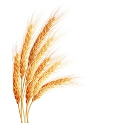 Wheat isolated on white eps 10 vector