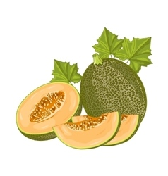 Melon fruit on white background vector image