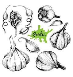 hand drawn set of garlic vector image