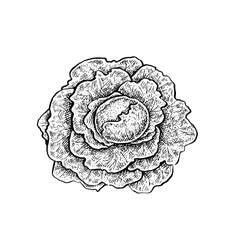 Black and white hand drawn sketch of a cabbage vector