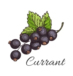 Black currant fruit branch with leaf sketch vector