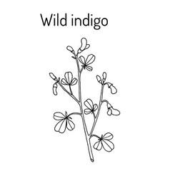 Wild-indigo baptisia tinctoria medicinal plant vector