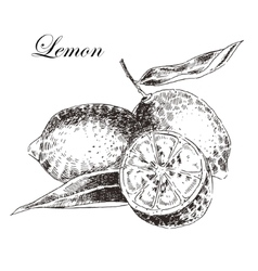 Lemon citrus hand drawn sketch in ink and vector