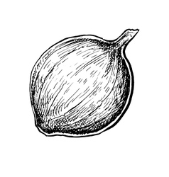 Black and white hand drawn sketch of an onion vector