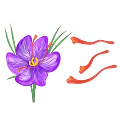 saffron with flower vector image