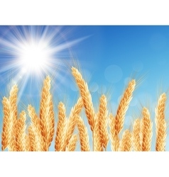 Gold wheat field and blue sky eps 10 vector