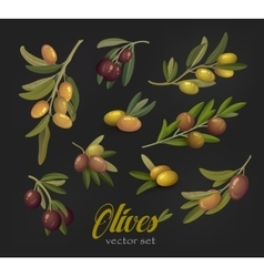 Set of olive branches or tree twigs berries vector