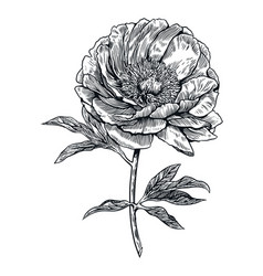 peony flower engraving drawing vector image vector image