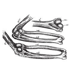 Mechanism of the elbow joint vintage vector