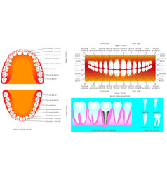 Anatomy of teeth vector image vector image