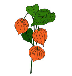 physalis isolated on white vector image vector image