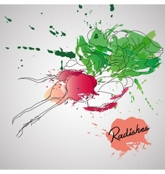 Radish with color splash vector