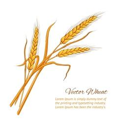 Ears of wheat vector