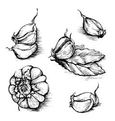 Hand drawn set of garlic with laurel leaf vector