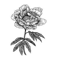 Peony flower engraving drawing vector