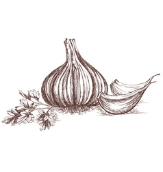 Garlic and parsley hand drawing vector image