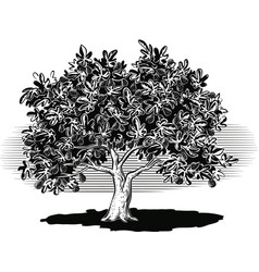 Fig tree laden with ripe fruit vector