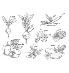 sketches of organic vegetables farm vegetarian vector image