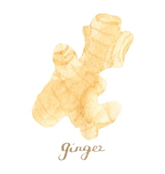 Watercolor ginger on the white background vector