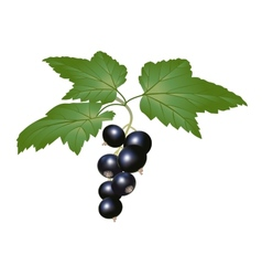 blackcurrant vector image