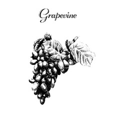 Ink hand drawn vintage grapevine vintage fruit vector