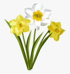 spring floral beautiful fresh daffodils flowers vector image vector image