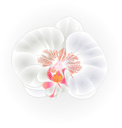 Beautiful white orchid flower phalaenopsis vector