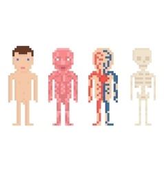 Human body anatomy - nude body muscle blood vector