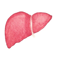 Watercolor realistic human liver on the white vector