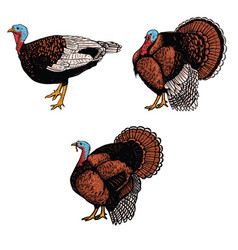 set of turkey isolated on white background design vector image vector image