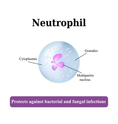 The structure of the neutrophil vector image
