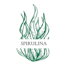 Spirulina algae hand drawn  Isolated vector image