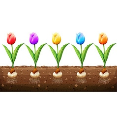 Tulips in different colors vector