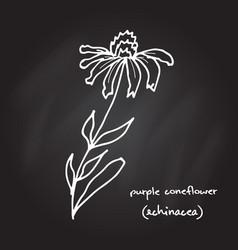 Medicinal plant - echinacea purpurea vector