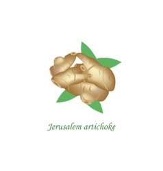 Jerusalem artichoke on vector