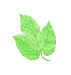 Watercolor hops leaf aquarelle vector image