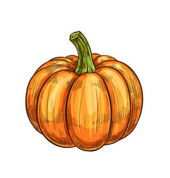 Pumpkin gourd or squash vegetable isolated sketch vector