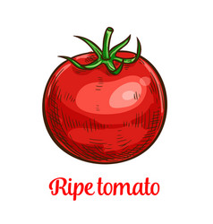 tomato vegetable sketch of organic natural veggies vector image