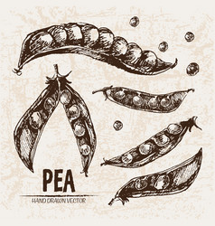 digital detailed line art pea vector image