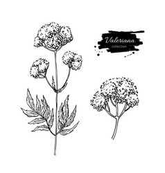 valeriana officinalis drawing isolated vector image