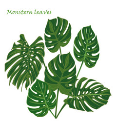 Set tropical monstera leaves realistic drawing in vector
