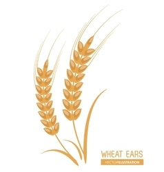Wheat ears design farm and agriculture concept vector image