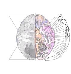 Cerebral hemisphere vector