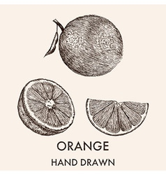 Sketch of whole orange half and segment hand drawn vector