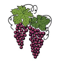 grape branch engraved berry leaves vineyard vector image