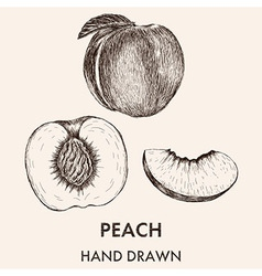 Sketch of whole peach half and segment hand drawn vector