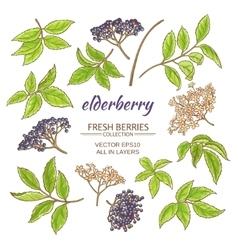 elderberry set vector image
