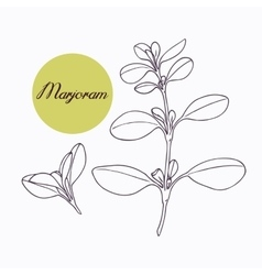 Hand drawn marjoram branch with leves isolated on vector image vector image