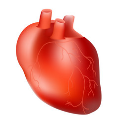 Human heart internal organ anatomy concept vector