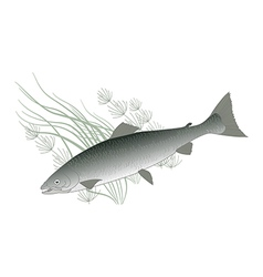 salmon vector image